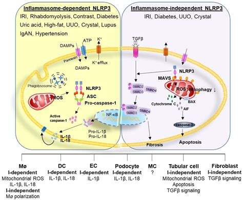 Cells   Free Full-Text   The Role of Inflammasome