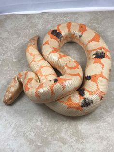Albino Burmese Python Hatchlings For Sale Philippines