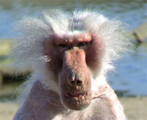 grumpy old man | This has to be one of the ugliest baboons