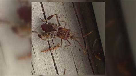 Western Conifer Seed Bugs stink when you crush them, but