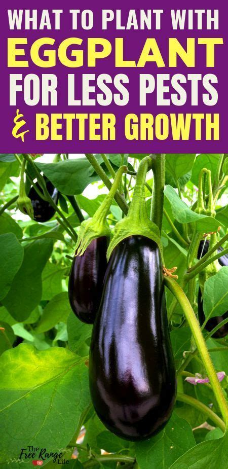 Organic Vegetable Gardening: Learn about the best eggplant